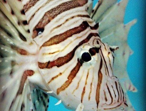 Unfortunate setback in caribbean lionfish control