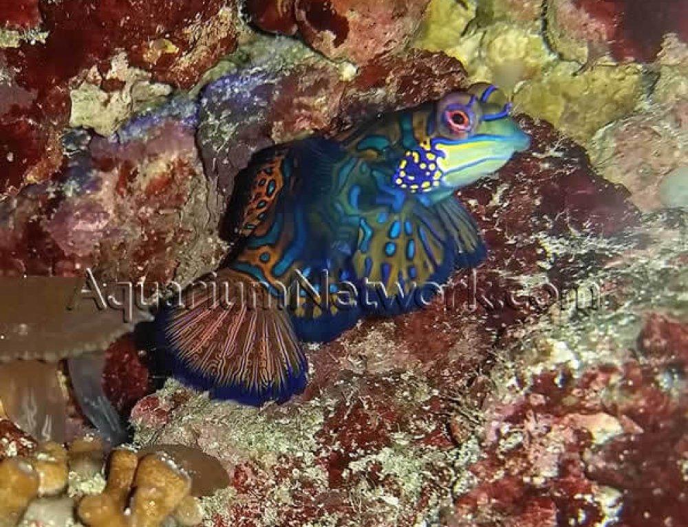 The Psychadelic Green Mandarinfish