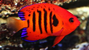 Dwarf Angelfish (Flame)